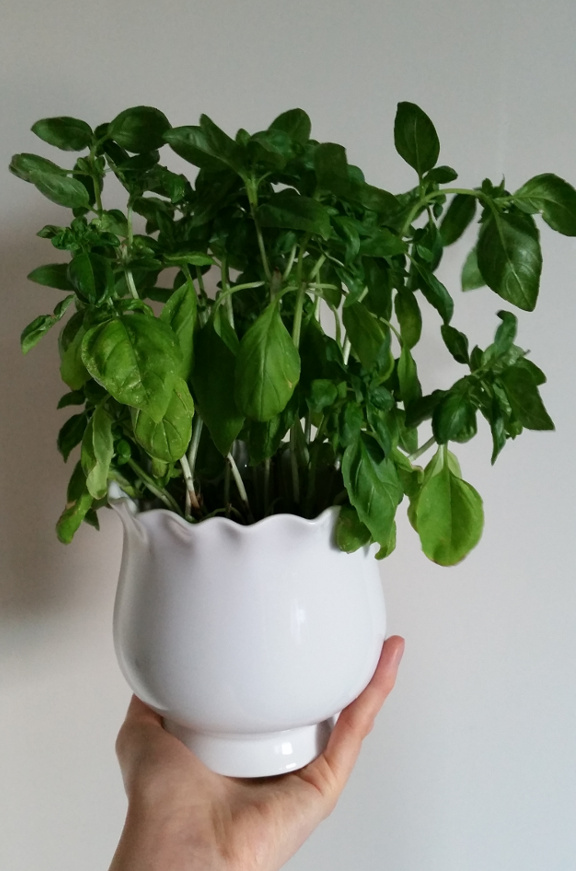 basil plant, basil, houseplant, white plant pot, plant pot
