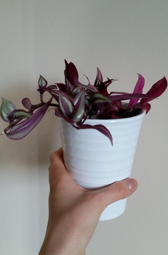 tradescantia zebrina, houseplant, white plant pot, plant pot